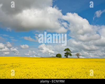 Canola or rapeseed field of bright yellow flowers, pines in background, north of Aberdeen, in Aberdeenshire, Scotland - Stock Image