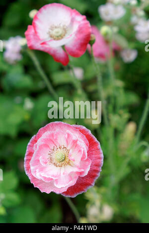 Pink and white semi double Shirley poppy flowers in spring - Stock Image