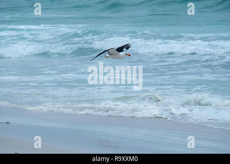 Pacific Gull (Larus pacifica) flying off the Friendly Beaches, Freycinet National Park, Tasmania on a stormy day - Stock Image