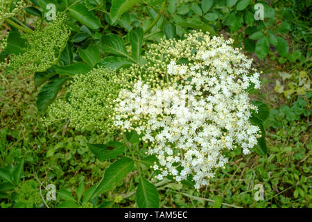 elderflower sambucus nigra blooms in the spring in a rural garden zala county hungary - Stock Image