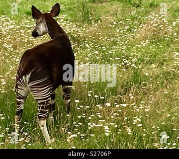 Okapi amongst wild flowers - Stock Image