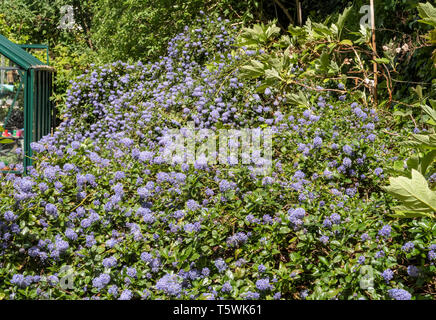 Ceanothus thyrsiflorus repens, growing on top of a bank beside a greenhouse. - Stock Image