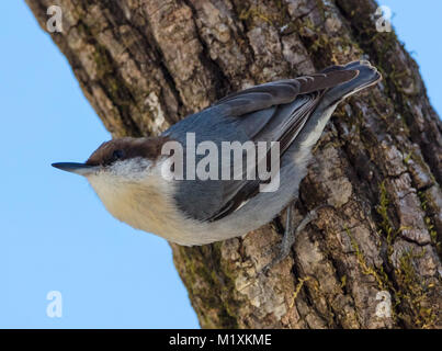 Brown-headed Nuthatch (Sitta pusilla) perched on a trunk of a tree - Stock Image