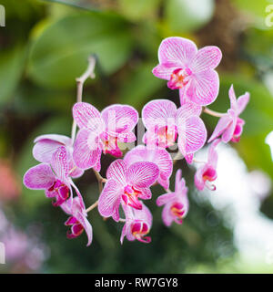 Pink Moth Orchid, Phalaenopsis - Stock Image