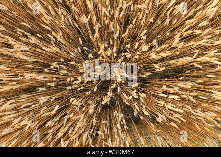 Golden Wheat field from above - Stock Image