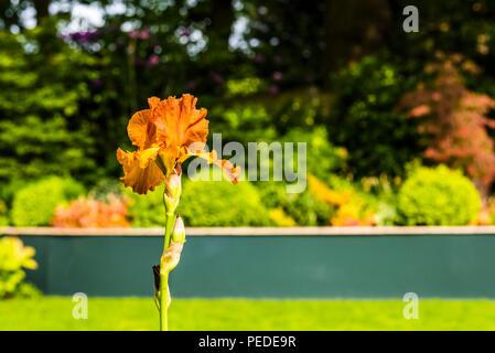 Burnt orange Iris in a north London garden - Stock Image