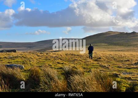 Well equipped lone hiker on Dartmoor moorland walking in direction of Oke Tor, Devon - Stock Image