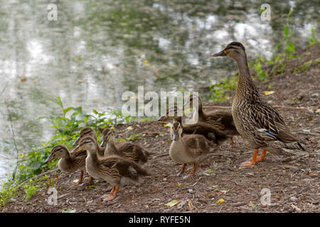 A wild mother duck by a pond is alert to danger as she protects her clutch of fuzzy duckling babies - Stock Image