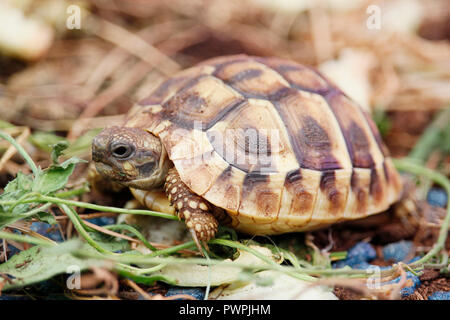 Close-up of a Hermann tortoise. - Stock Image
