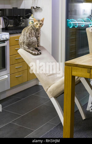 Male Bengal cat kitten sitting relaxed on top of chair backrest leaning back too far about to tip over - Stock Image