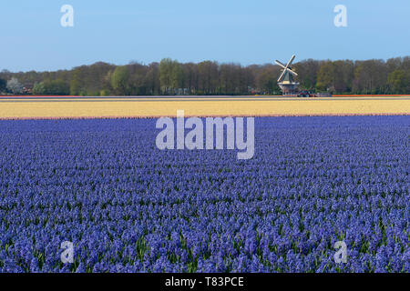 Lisse, Holland - April 18, 2019: Traditional Dutch Hyacinth field with purple flowers and a windmill in the background - Stock Image