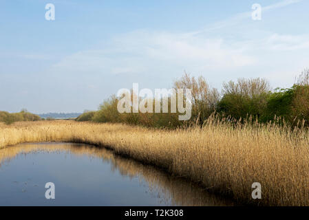 Reedbeds at RSPB Blacktoft Sands, a nature reserve in East Yorkshire, England UK - Stock Image