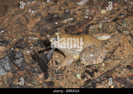 Yellow-bellied Puddle Frog, Occydozyga laevis - Stock Image