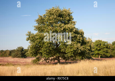 Oak, Nature reserve Westruper Heide, Additional-Rights-Clearance-Info-Not-Available - Stock Image