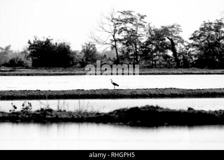 Heron bird among the water mirrors of the rice fields - Stock Image