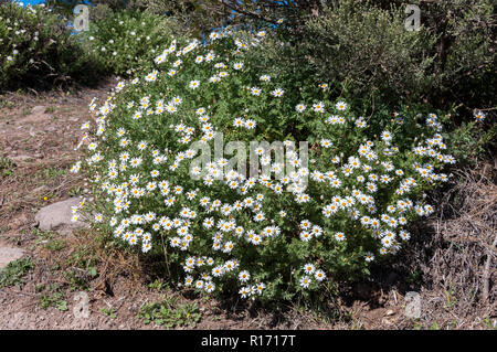 Plant of Argyranthemum adauctum subsp. canariense, an endemism of the Gran Canaria Island, Canary Islands, Spain. Photo taken in Nublo Rural Park - Stock Image