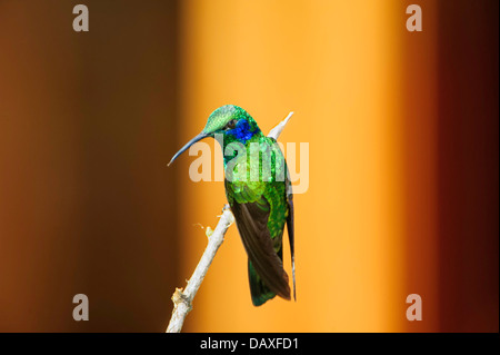 A green violet-ear hummingbird perched on a limb at Sevegre, in the Tallamanca Mountains of southern Costa Rica. - Stock Image