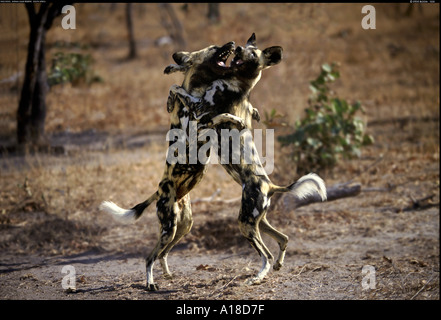 African wild dogs Kapama South Africa - Stock Image