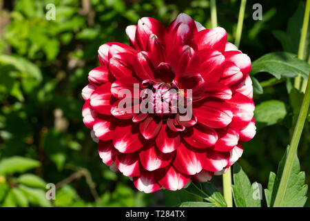 Dahlia (Dahlia), flowers of summer - Stock Image