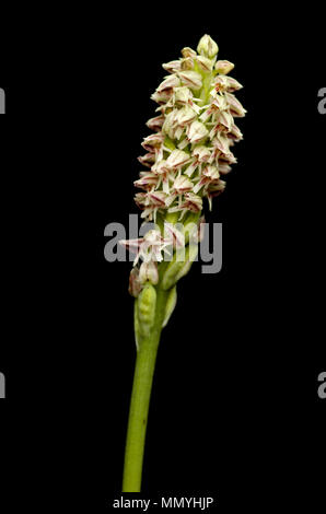 Ligther form of a wild Dense flowered Orchid inflorescense (Neotinea maculata) isolated over a black background. Vila Viçosa, Portugal. - Stock Image