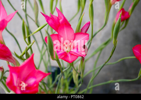 Pink Red Flower Of a Gladiolus Carmineus - Stock Image