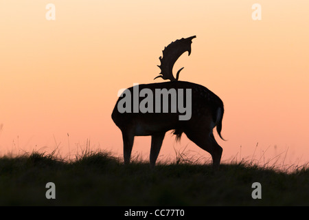 Fallow Deer (Dama dama), Buck silhouette on horizon at dusk, Royal Deer Park, Klampenborg, Copenhagen, Sjaelland, - Stock Image
