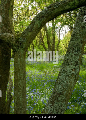 Bluebells in dappled sunshine framed by tree branches - Stock Image