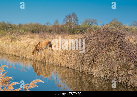 Wild Konik ponies on the banks of Burwell Lode waterway on Wicken Fen nature reserve, Cambridgeshire; England; UK - Stock Image
