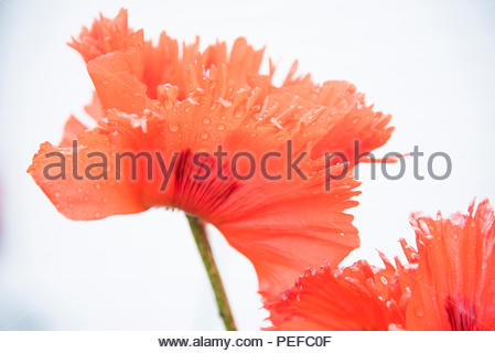 A poppy flower. - Stock Image