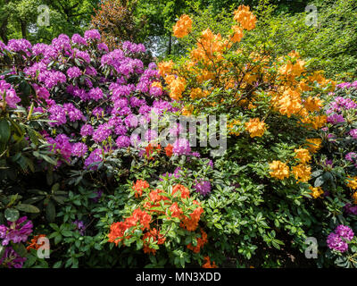 Colorful Rhododendron plants, park 'Französicher Garten' (French Garden) , Celle, Lower-Saxony, Germany - Stock Image