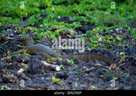 Nile Monitor Varanus niloticus Selous National Park Tanzania - Stock Image