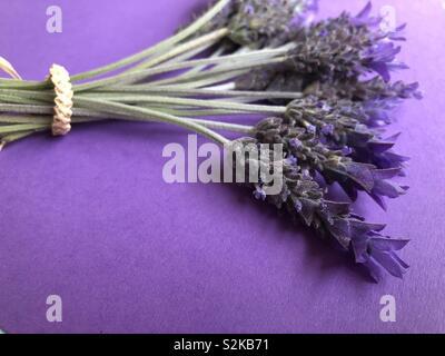 Purple lavender on purple background - Stock Image