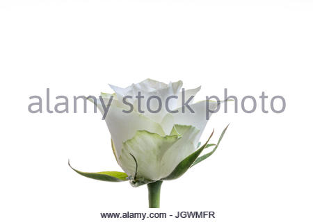 White rose white background close-up with stem - Stock Image