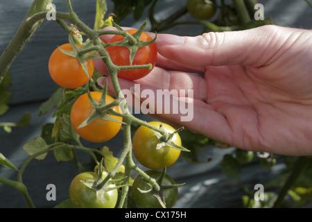 Woman picking cherry tomato - Stock Image