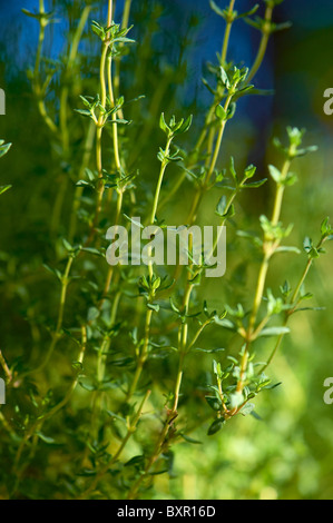 Close-up of Thyme growing plant - Stock Image