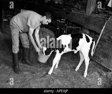 Farm hand feeding calf, Monkton, Vermont, USA - Stock Image