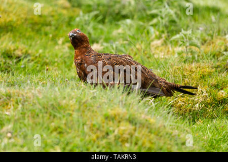 Red Grouse male during the nesting season.  Stood in natural moorland habitat, facing left. Scientific name: Lagopus lagopus.Landscape. Space for copy - Stock Image