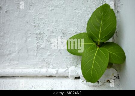 Green Leaves on White Concrete Wall. - Stock Image