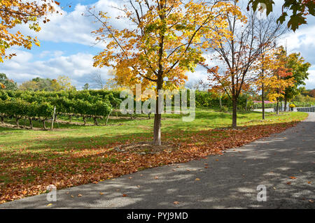 Colourful trees in the Autumn by the vineyards of Kacaba winery in the Niagara Peninsula of Ontario, Canada. - Stock Image