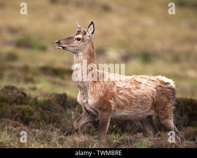 Red Deer hind (Cervus elaphus) with summer coat on North Uist moorland, Outer Hebrides, Scotland - Stock Image