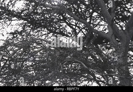 1960s, a hard to see wild leopard resting on a branch of a tree in the Masai Mara National Reserve, Kenya, Africa. - Stock Image