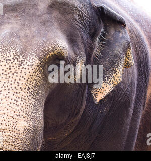focus on the elephant head in square frame - Stock Image