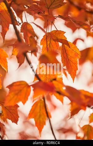 Tulip Tree leaves changing color in Autumn, Amish Country, Lancaster County, Pennsylvania, USA - Stock Image