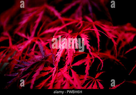 Thaxted, Essex. 15th Oct 2018. UK Weather: Last colours of Autumn in my garden in Thaxted Essex England. 15 October 2018 My Acer tree. Credit: BRIAN HARRIS/Alamy Live News - Stock Image