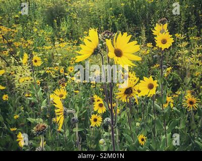 A meadow of vibrant yellow daisies. - Stock Image
