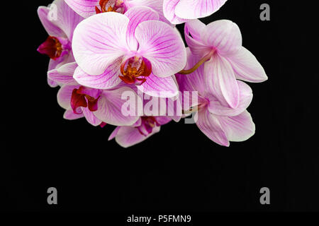 Pink Orchid on a black background with space for text. - Stock Image