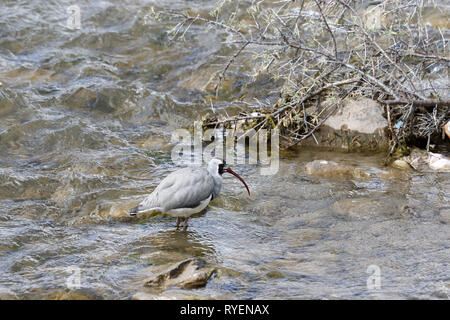 Ibisbill feeding in river - Stock Image