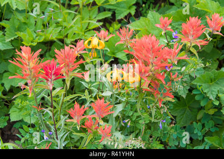 USA, Washington State. Indian Paintbrush and Tiger Lily wildflowers on Mt. Townsend, Silver Lakes trail - Stock Image