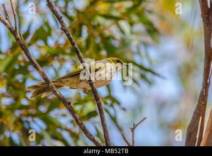 Yellow plumed honeyeater, Birdsville, Queensland, Australia - Stock Image