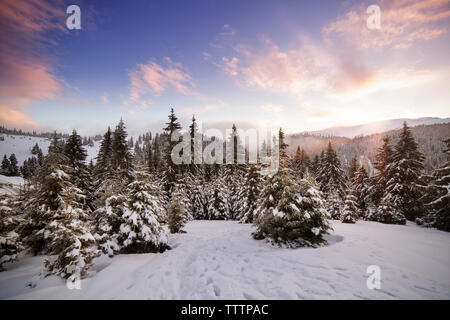 Scenic view of pine trees covered with snow against sky - Stock Image